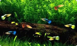 Aquarium Fischarten günstig online kaufen