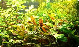 Aquarium Pflanzen günstig online kaufen
