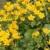 Wasserpflanzen Wolff – Caltha palustris – Sumpfdotterblume, gelb -