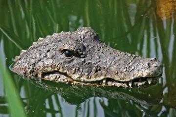 Boltze 5274300 Dekofigur Gartenfigur Schwimmtier Krokodil, Kunststoff, braun -