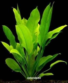 Große Amazonas-Schwertpflanze / Echinodorus bleheri -