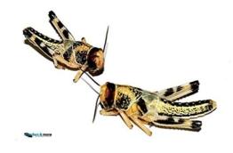 Heuschrecken 100 kleine Wüstenheuschrecke Futterinsekten Reptilienfutter -
