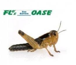 Heuschrecken subadult 100 Stück Wanderheuschrecken Futterinsekten Reptilienfutter -