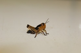 Heuschrecken Wanderheuschrecken mittel 10 Stück Dose Futterinsekten Reptilienfutter Futtertiere -