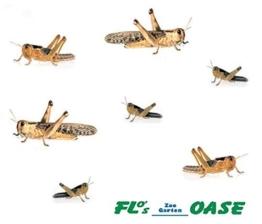 Heuschrecken Wanderheuschrecken MIX 100 Stück Futterinsekten Reptilienfutter Futtertiere -