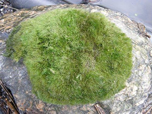 M hlan 5 x winterharter teichrasen jede matte mind 5x7 for Teichpflanzen gegen algen
