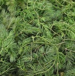 Wasserpflanzen Wolff - Klärpflanze! - Ceratophyllum demersum - winterhartes Hornblatt - Hornkraut -