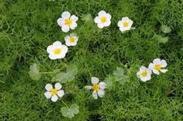 Wasserpflanzen Wolff - Klärpflanze! - Ranunculus aquatilis - Wasserhahnenfuß, weiß -
