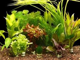 Zoomeister - 5 verschiedene Bund Wasserpflanzen, ca. 35 Einzelpflanzen gegen Algen -