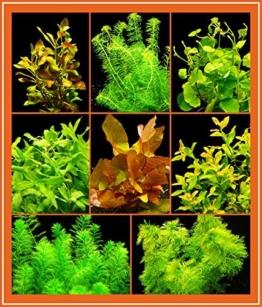 Zoomeister - Anti-Algen-Set - 40 Schnellwachsende Pflanzen + Lotus -