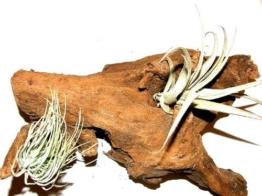 1 Wurzel bepflanzt mit 2 verschiedenen Tillandsien, Deko für Terarrien -